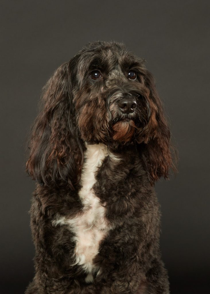 Cockapoo on black background photographed by Rutland Pet Photography