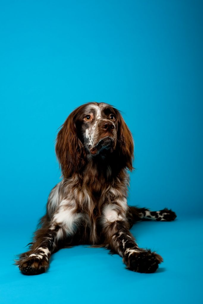 brown and white dog on blue background by rutland pet photography