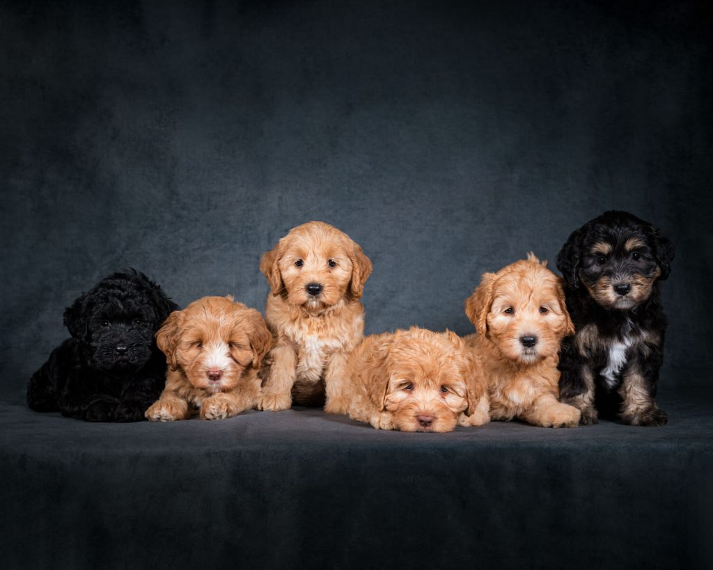 Labradoodle puppies photographed by Rutland Pet Photography