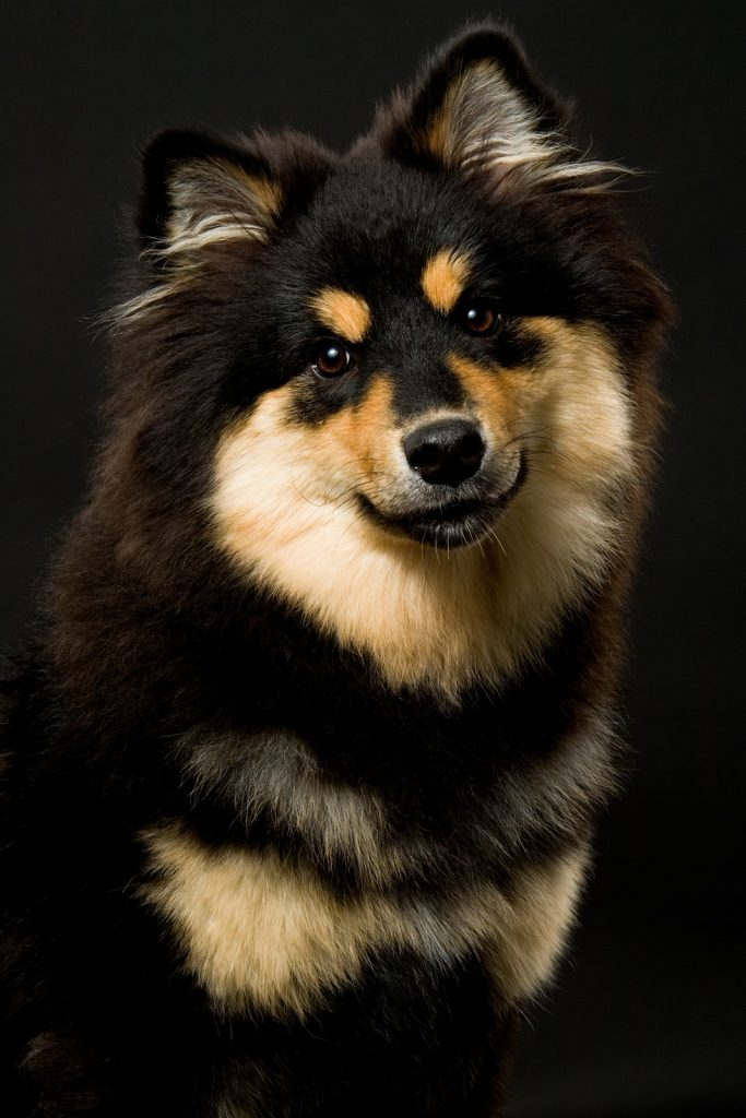Finnish Lapphund on black background photographed by Rutland Pet Photography